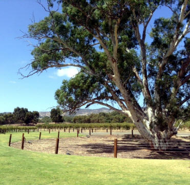 Eucalyptus in the vineyard